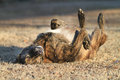 Large Dog Rolling In Grass, Happy And Content Stock Photo - 69149650