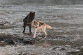 Grey Wolves (Canis Lupus) Turn To Look At Splash Stock Photography - 69158822