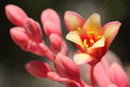 Red Yucca Flower Stock Images - 69164034