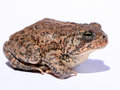 Dwarf American Toad Royalty Free Stock Photo - 69165155