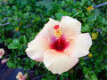 Salmon Pink Hibiscus Flower Royalty Free Stock Photos - 69169568