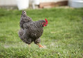 Plymouth Barred Rock Chicken Royalty Free Stock Photography - 69175917