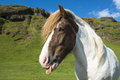 Funny Icelandic Horse Showing Tongue On The Green Meadow Royalty Free Stock Image - 69189336