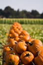 Pumpkins Royalty Free Stock Photos - 6922238