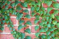 Ivy Vine On Wall Stock Images - 6929614
