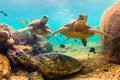 Hawaiian Green Sea Turtle Stock Photo - 69229270