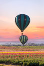 Hot Air Balloons At Tulip Field Royalty Free Stock Photo - 69231945