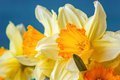 Fresh Spring Yellow Narcissus Flowers On Blue Background. Selective Focus. Royalty Free Stock Photography - 69239987