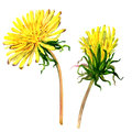 Beautiful Yellow Flower Dandelion Isolated, Watercolor Illustration Royalty Free Stock Photos - 69256108