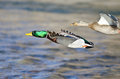 Pair Of Mallard Ducks Flying Low Over The River Royalty Free Stock Image - 69272956