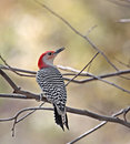 Red-bellied Woodpecker Royalty Free Stock Photos - 6933888