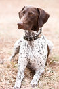German Shorthaired Pointer Dog Sitting In Field Stock Image - 6937271