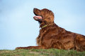 Red Irish Setter Dog, Dog For A Walk Royalty Free Stock Images - 69309869