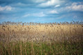 Field Of Reed Royalty Free Stock Image - 69315466