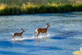 Adult Deer Shows Fawn How To Cross River Stock Images - 69377944