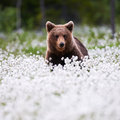 Beautiful Bear Among The Cotton Grass Stock Photo - 69434180