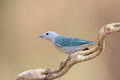 Sayaca Tanager Perched On A Vine Stock Image - 69464011