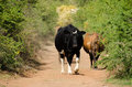 Cows On Dirt Road Royalty Free Stock Photo - 69479435