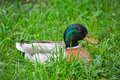 Duck Sitting In The Grass Royalty Free Stock Photos - 69571968