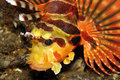 Zebra Lionfish Stock Image - 6962181