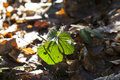 Birch Leaf In Detail Royalty Free Stock Photography - 69613567