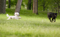 White Poodle Dog Running Chasing Playing With Other Dog Stock Images - 69616284