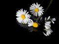 Loves Me, Loves Me Not Daisies. Childhood Game. Stock Images - 69636764