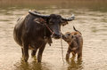 Portrait Of Asia Water Buffalo, Or Carabao Royalty Free Stock Image - 69643546