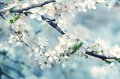 Spring Beautiful Blossoming Apple-tree Or Cherry Branches. Spring Branch Of A Tree, With Blossoming White Small Flowers Stock Photos - 69646193