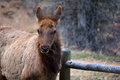 Brown Elk Chewing By A Wooden Fence Royalty Free Stock Photos - 69687258