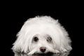 White Maltese Dog Lying, Sad Eyes Looking In Camera Isolated Stock Photo - 69697630