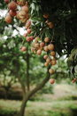 Litchi Royalty Free Stock Images - 6975619