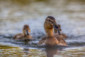 Mother Mallard Duck Royalty Free Stock Images - 69746599