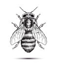 Realistic Honey Bee Isolated On A White Background. Black White Drawing. Graphic Illustration For Your Design Royalty Free Stock Photo - 69787505