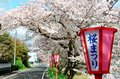 Romantic Archway Of Pink Cherry Tree Blossoms ( Sakura Namiki ) And Japanese Style Lamp Posts Along A Country Road Royalty Free Stock Photos - 69791938