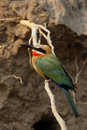 White-fronted Bee-eater Royalty Free Stock Image - 6989476