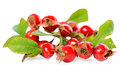 Beautiful Rosehip Twigs With Leaves And Red Ripe Berries Or Dog- Stock Photo - 69819490