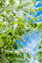 The Branches Bird Cherry Blossoms Stock Photo - 69851230