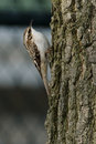 Brown Creeper Stock Photography - 69862032