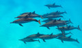 Spinner Dolphins Scene From Above Royalty Free Stock Photos - 69875038