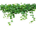 Heart Shaped Leaves Vine, Devil S Ivy, Golden Pothos, Isolated O Royalty Free Stock Image - 69896596