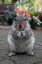 Squirrel With A Nut In A City Park Royalty Free Stock Images - 69897139