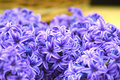 Hyacinths Stock Images - 69903974