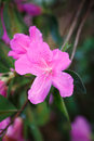 Spring-Blooming Pink Azalea Flower Royalty Free Stock Images - 69908099