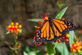 A Male Monarch Butterfly Royalty Free Stock Photos - 69917108