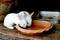 Two White Rabbits Drinking Water From Baked Clay Disc Stock Image - 69917991