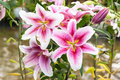 Beautiful Pink Lily In Garden Stock Image - 69925211
