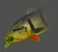 Peacock Bass Caught On Fly Stock Images - 69944404