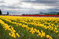 Tulips In The Skagit Valley Royalty Free Stock Image - 69949566