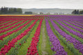 Tulips In The Skagit Valley Stock Image - 69950181